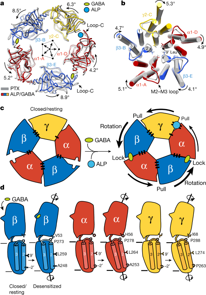 GABA A receptor signalling mechanisms revealed by structural