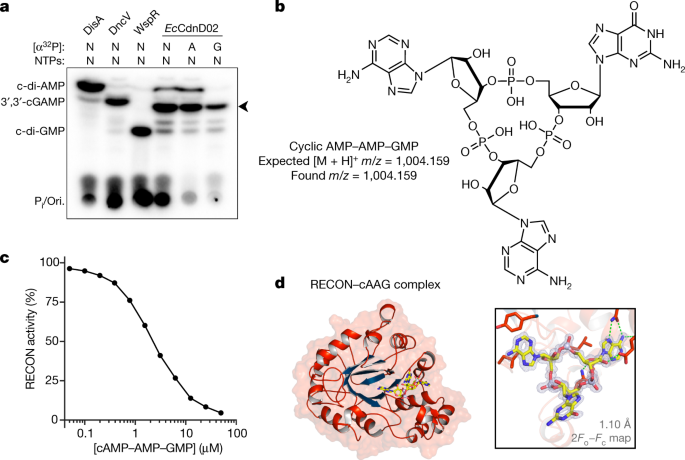Bacterial cGAS-like enzymes synthesize diverse nucleotide