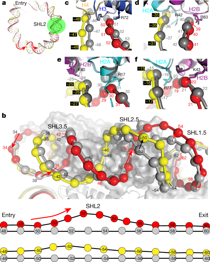 6f9786261 ... of the nucleosome bound by Snf2 in the ADP-bound state (colour coded)  and the unbound state (grey, PDB code 3MVD). Green circle, Snf2; red arrow,  ...