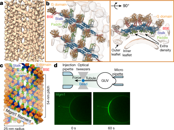 Structure and assembly of the mitochondrial membrane remodelling