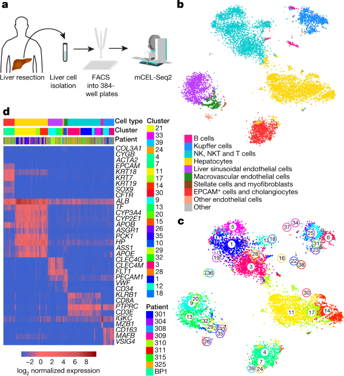 A human liver cell atlas reveals heterogeneity and