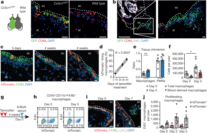 Locally renewing resident synovial macrophages provide a protective