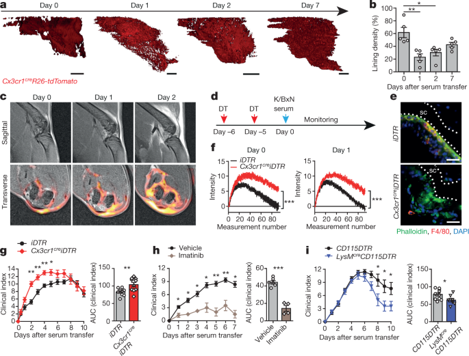 Locally renewing resident synovial macrophages provide a