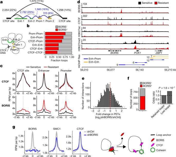 BORIS promotes chromatin regulatory interactions in