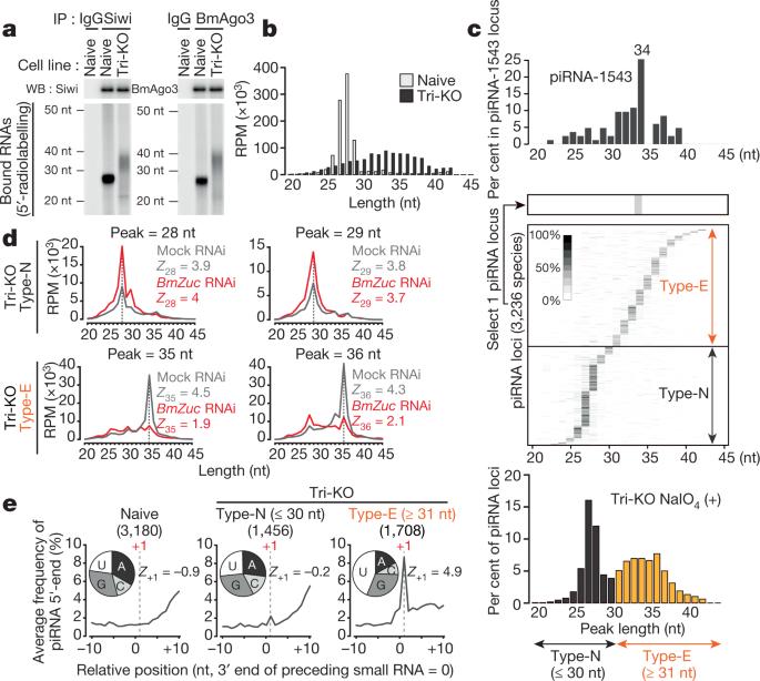 Zucchini consensus motifs determine the mechanism of pre-piRNA production    Nature