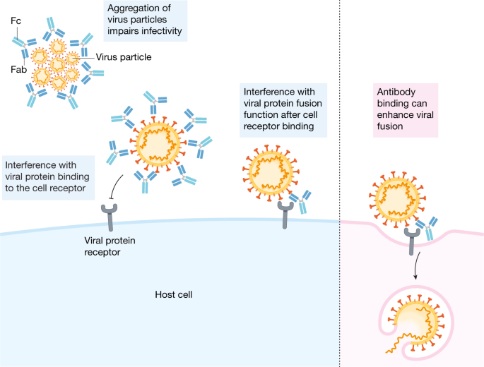 A perspective on potential antibody-dependent enhancement of SARS-CoV-2