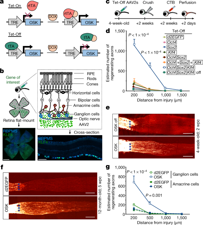 Reprogramming To Recover Youthful Epigenetic Information And Restore Vision Nature