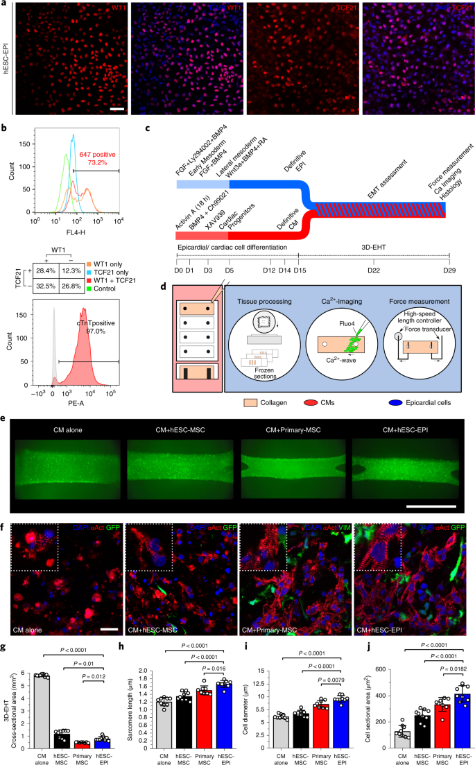 Epicardial cells derived from human embryonic stem cells