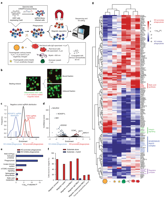 Identification of phagocytosis regulators using magnetic