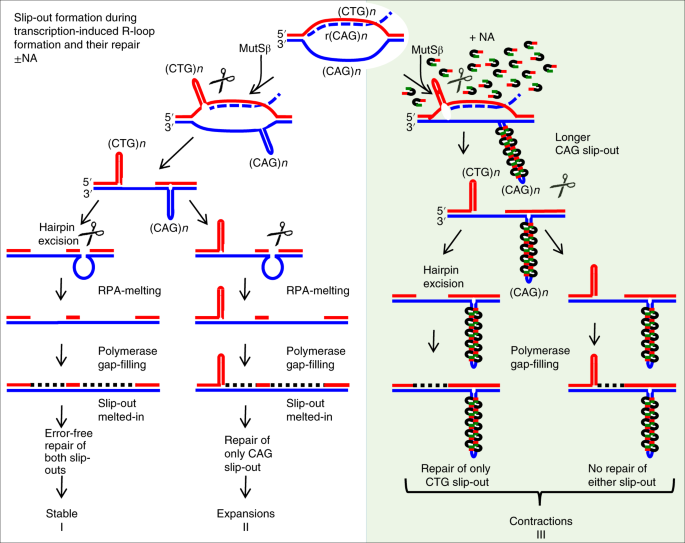 slipped cag dna binding small molecule