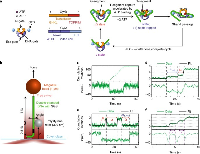 Dynamic Coupling Between Conformations And Nucleotide States In Dna Gyrase Nature Chemical Biology It does this by relaxing positive supercoils (via negative supercoiling) that would otherwise form during the unwinding. dna gyrase