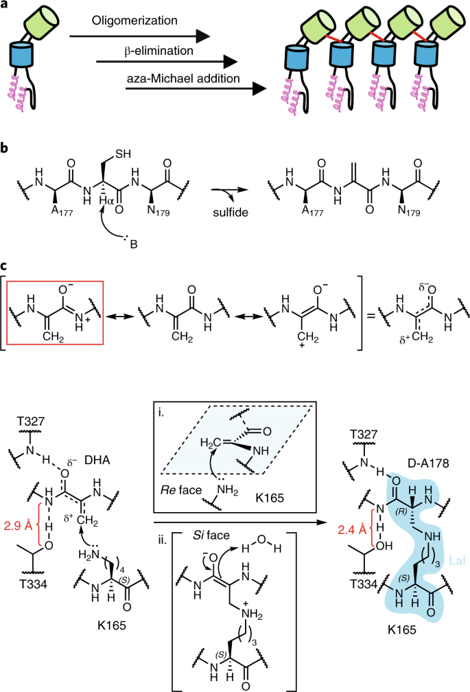 Structure and chemistry of lysinoalanine crosslinking in the