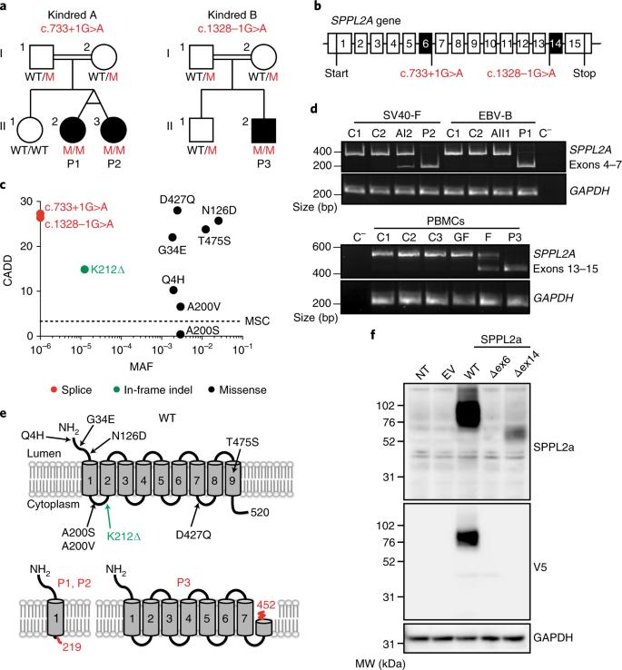 Disruption of an antimycobacterial circuit between dendritic