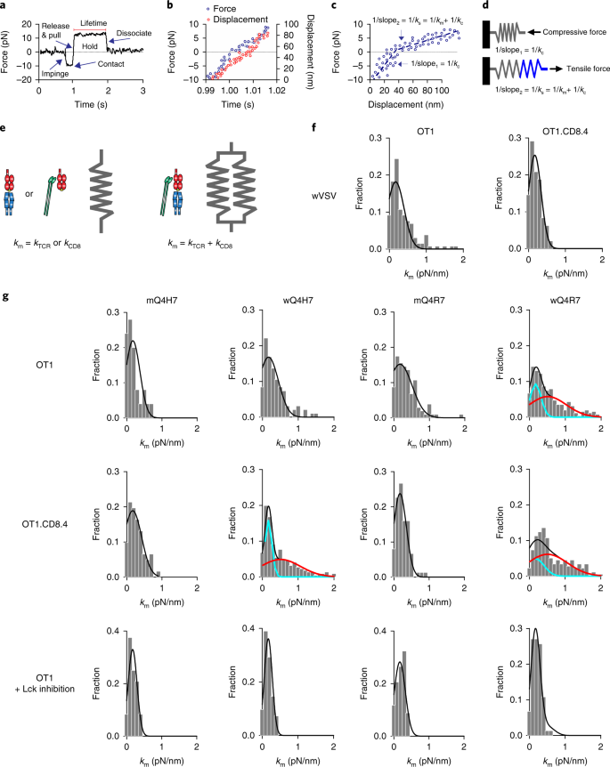 A TCR mechanotransduction signaling loop induces negative selection