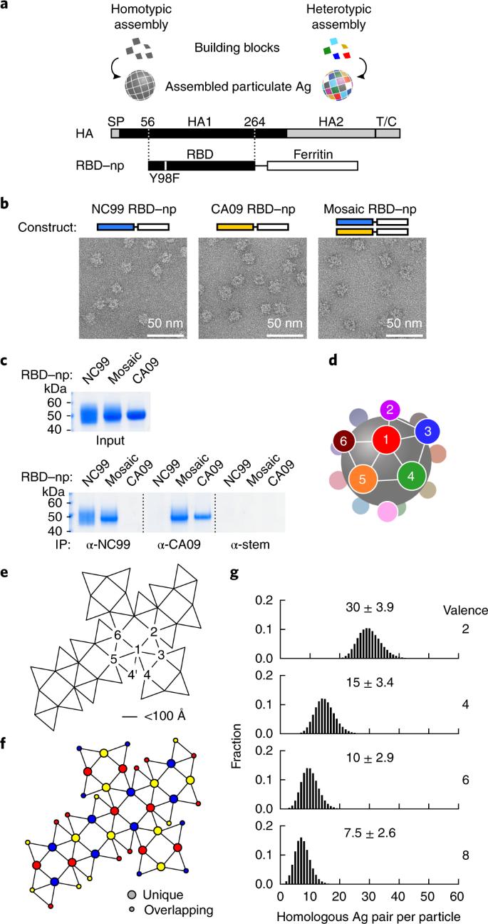 hemagglutinin diagram mosaic nanoparticle display of diverse influenza virus  influenza virus