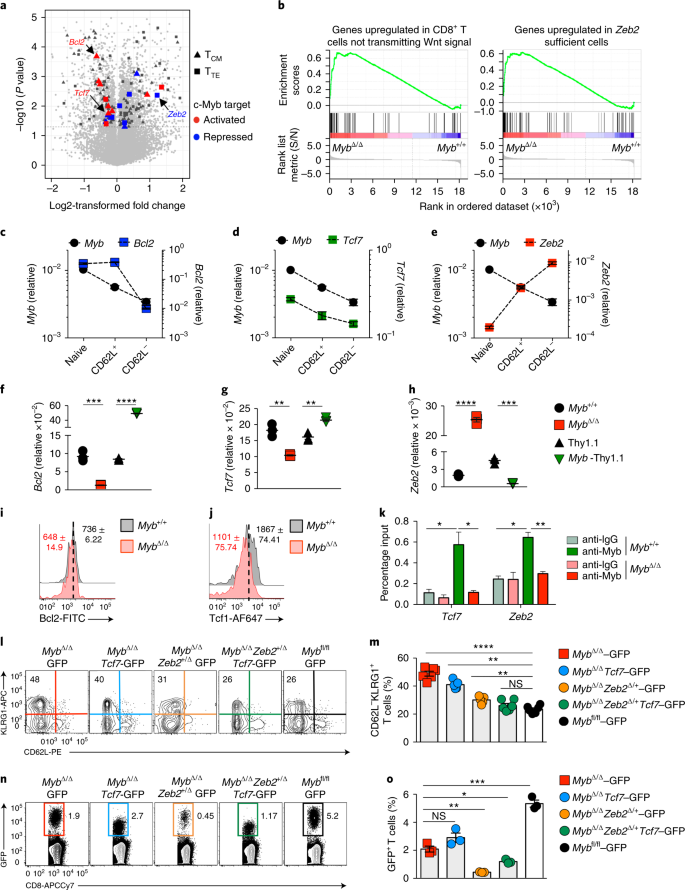 The transcription factor c-Myb regulates CD8 + T cell stemness and