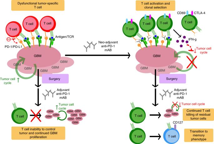 Neoadjuvant anti-PD-1 immunotherapy promotes a survival