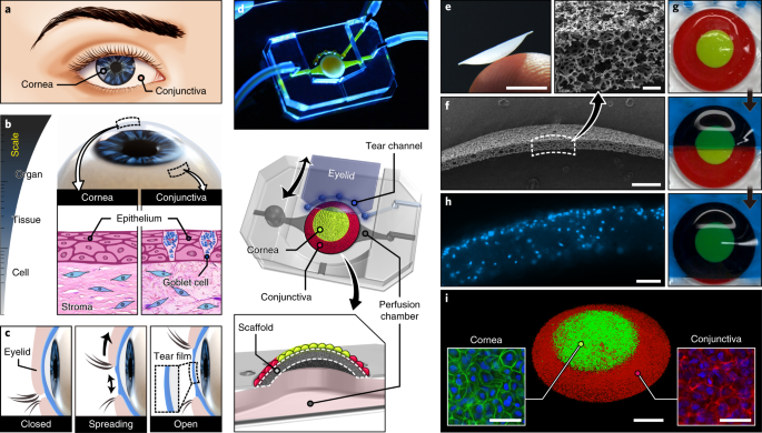 Multiscale Reverse Engineering Of The Human Ocular Surface Nature Medicine