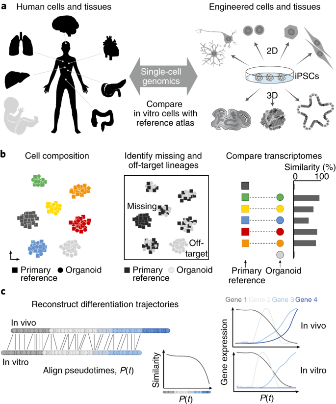 Single Cell Genomics To Guide Human Stem Cell And Tissue Engineering Nature Methods