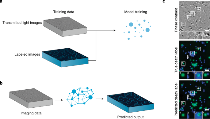 Deep learning for cellular image analysis   Nature Methods