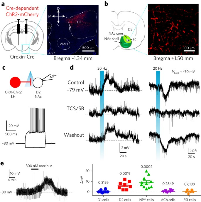 Accumbal D2 cells orchestrate innate risk-avoidance