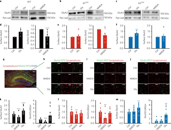 The C-terminal tails of endogenous GluA1 and GluA2