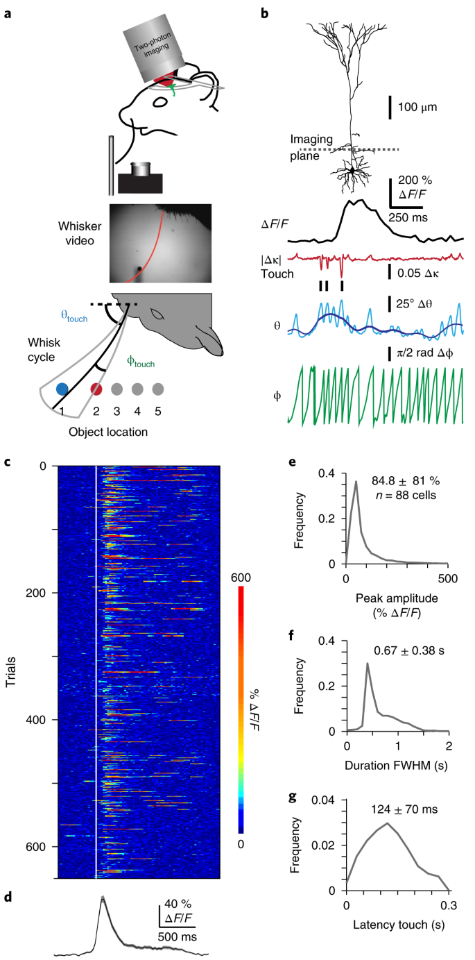 Active dendritic integration and mixed neocortical network