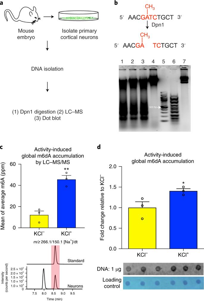 The DNA modification N6-methyl-2'-deoxyadenosine (m6dA) drives