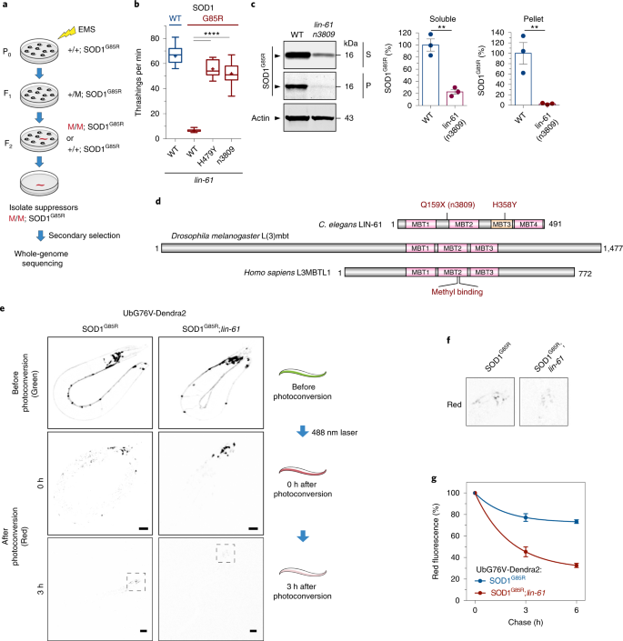 L3MBTL1 regulates ALS/FTD-associated proteotoxicity and quality