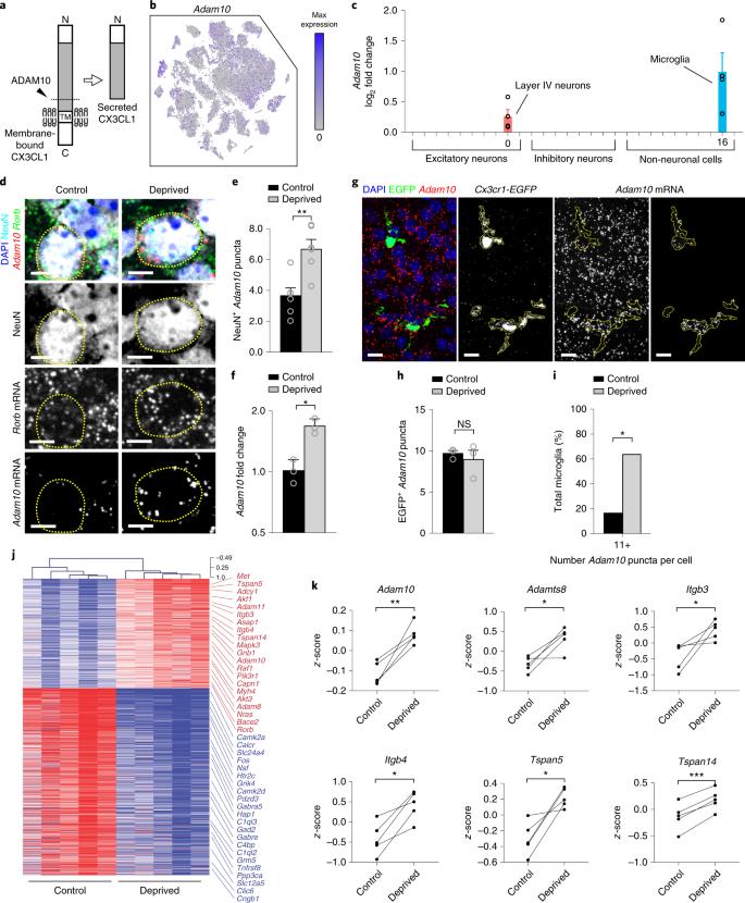 Sensory lesioning induces microglial synapse elimination via