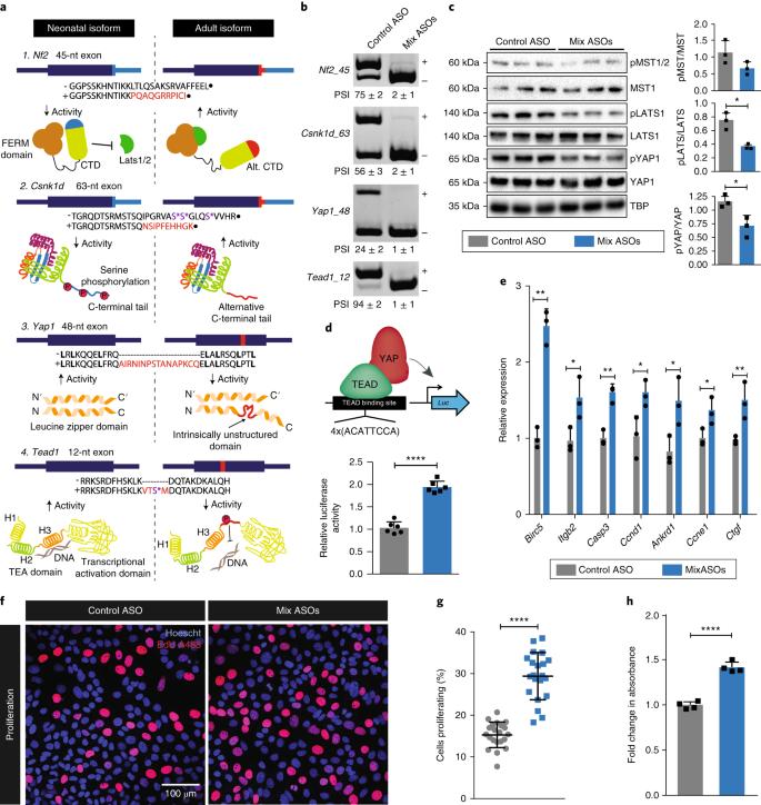 Alternative splicing rewires Hippo signaling pathway in hepatocytes