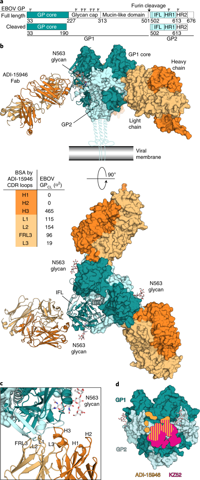 Structural basis of broad ebolavirus neutralization by a human