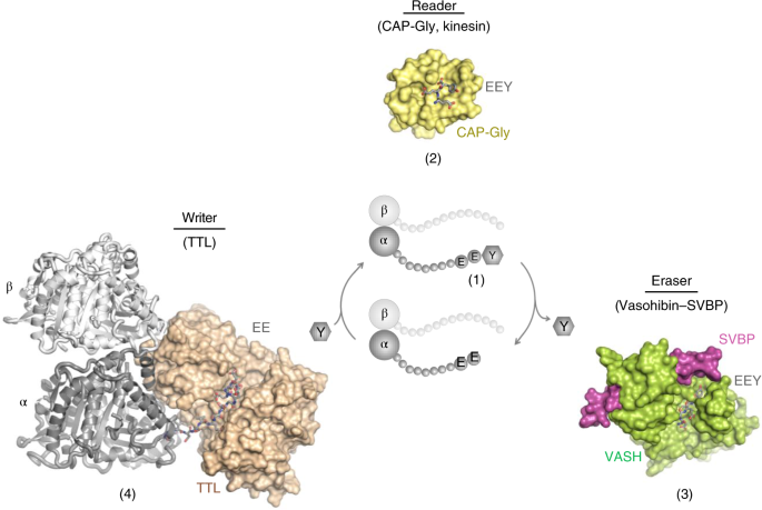 Structural basis of tubulin detyrosination by the vasohibin