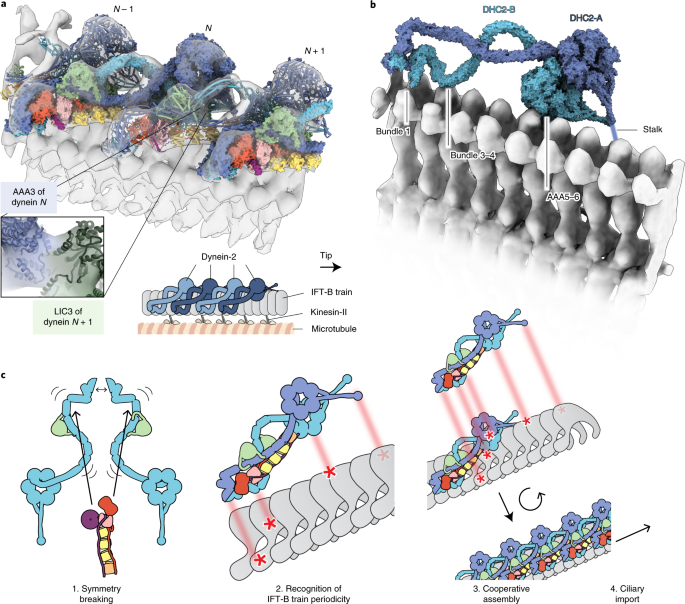 Structure of the dynein-2 complex and its assembly with
