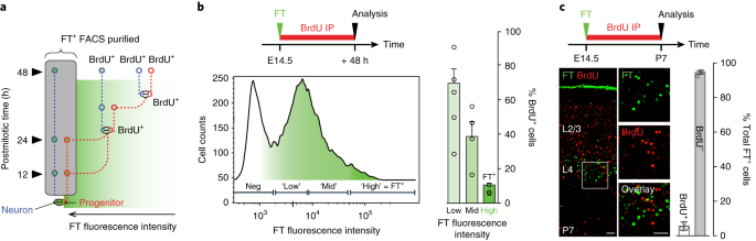 In Vivo Pulse Labeling Of Isochronic Cohorts Of Cells In The