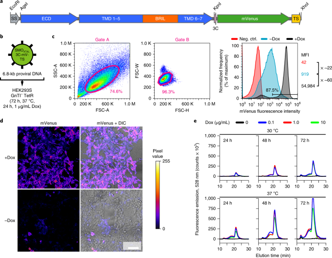 Lentiviral transduction of mammalian cells for fast, scalable and