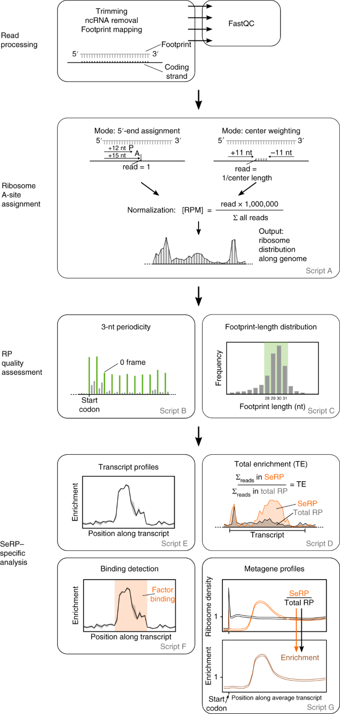 Selective ribosome profiling to study interactions of