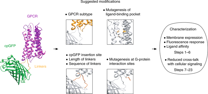 Imaging neuromodulators with high spatiotemporal resolution using gene