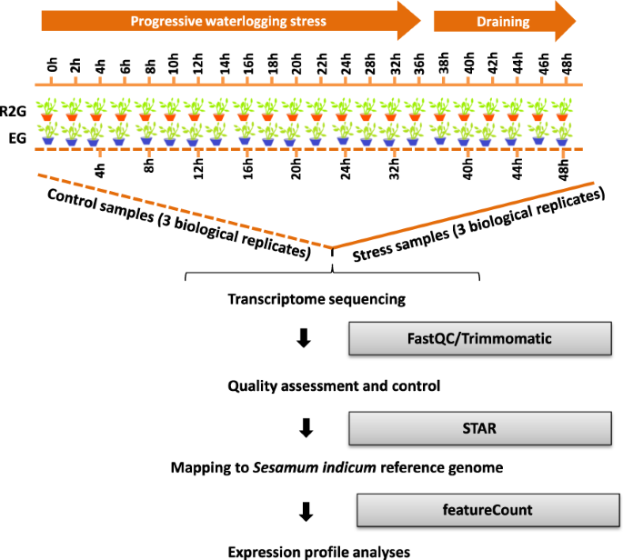 Transcriptomic profiling of sesame during waterlogging and recovery