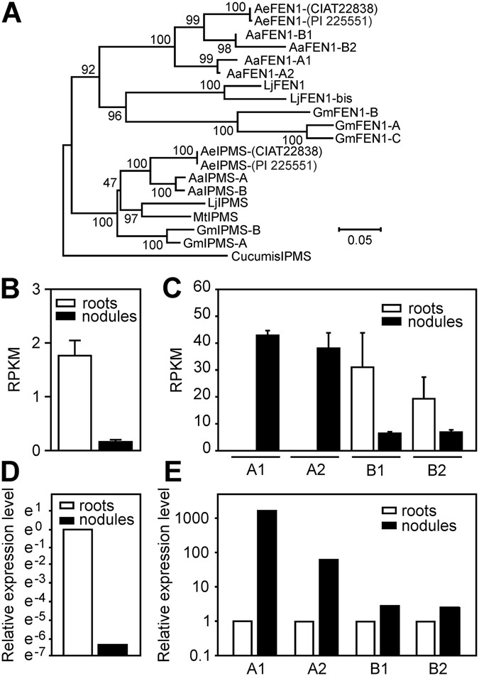 The role of rhizobial (NifV) and plant (FEN1) homocitrate synthases