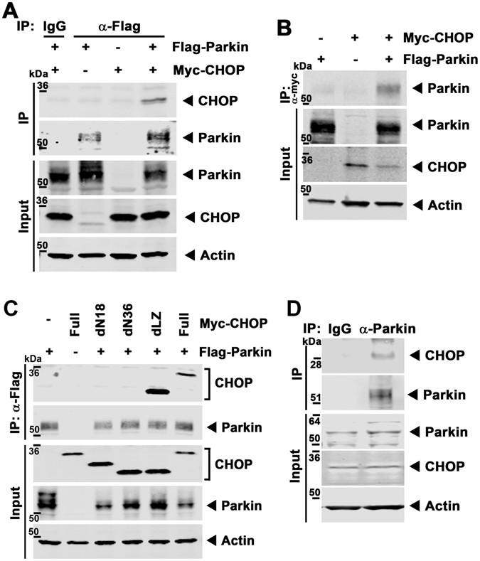 Parkin regulation of CHOP modulates susceptibility to cardiac