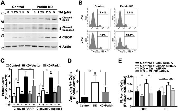 Parkin regulation of CHOP modulates susceptibility to
