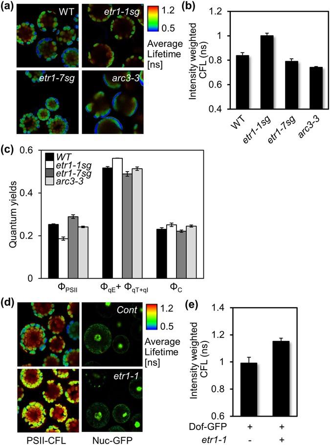 Phytohormone ethylene-responsive Arabidopsis organ growth