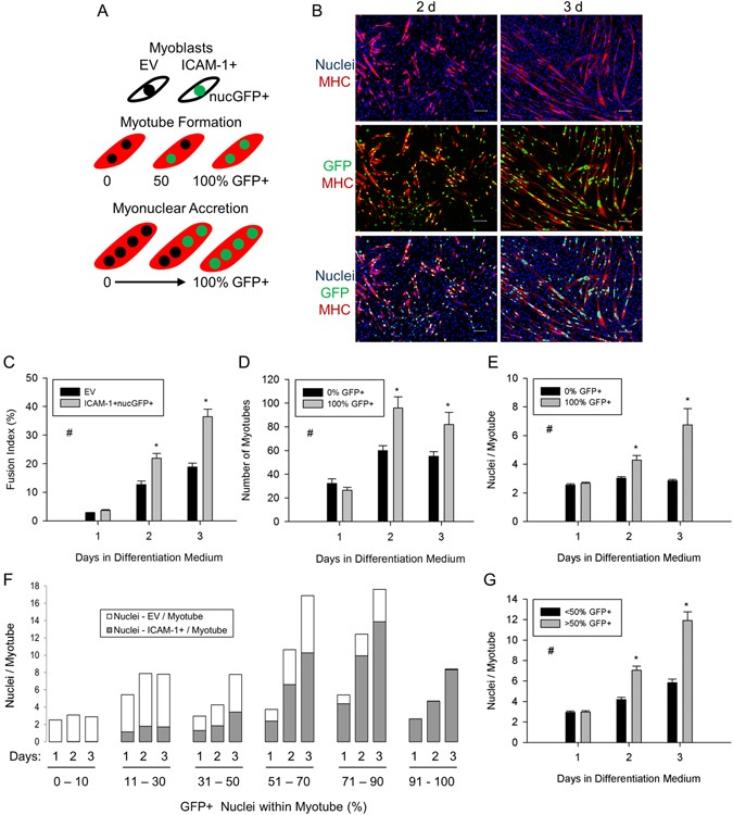 Intercellular adhesion molecule-1 augments myoblast adhesion and