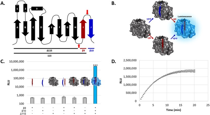A Tri Part Protein Complementation System Using Antibody Small Peptide Fusions Enables Homogeneous Immunoassays Scientific Reports