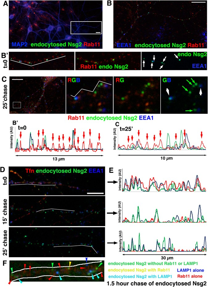 The endosomal neuronal proteins Nsg1/NEEP21 and Nsg2/P19 are