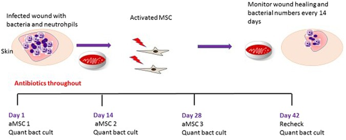 Activated Mesenchymal Stem Cells Interact with Antibiotics and Host