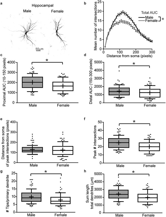 In vivo and in vitro sex differences in the dendritic morphology of