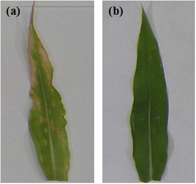 Cu-chitosan nanoparticle boost defense responses and plant growth in