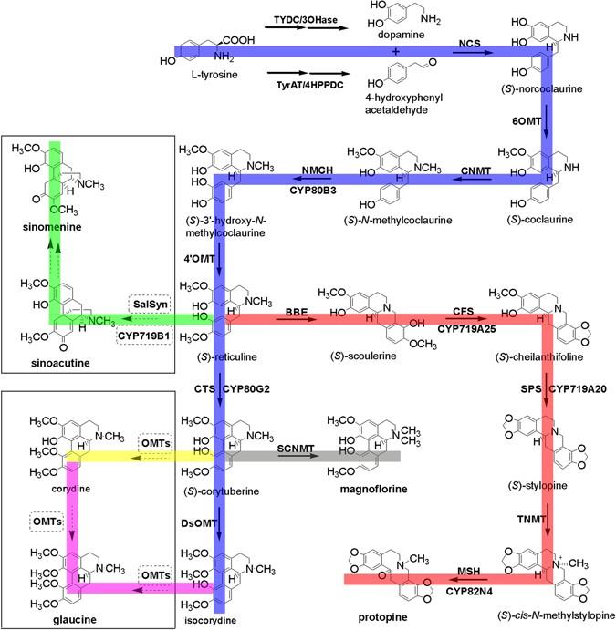 Identification of candidate genes involved in isoquinoline